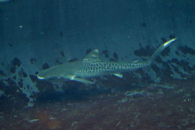 イタチザメとシノノメサカタザメ(葛西臨海水族園)_b0355317_20465232.jpg