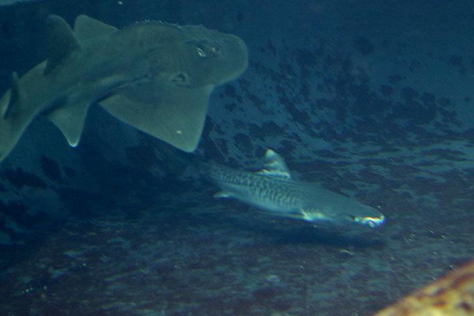 イタチザメとシノノメサカタザメ(葛西臨海水族園)_b0355317_21115310.jpg
