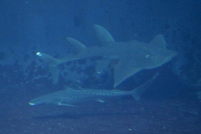 イタチザメとシノノメサカタザメ(葛西臨海水族園)_b0355317_21132869.jpg