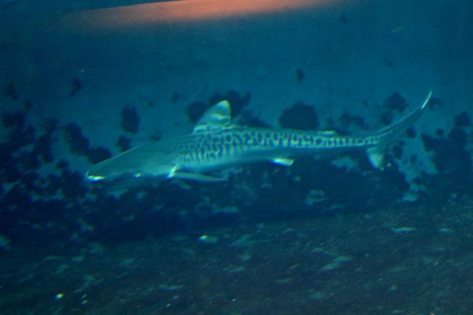 イタチザメとシノノメサカタザメ(葛西臨海水族園)_b0355317_21153706.jpg