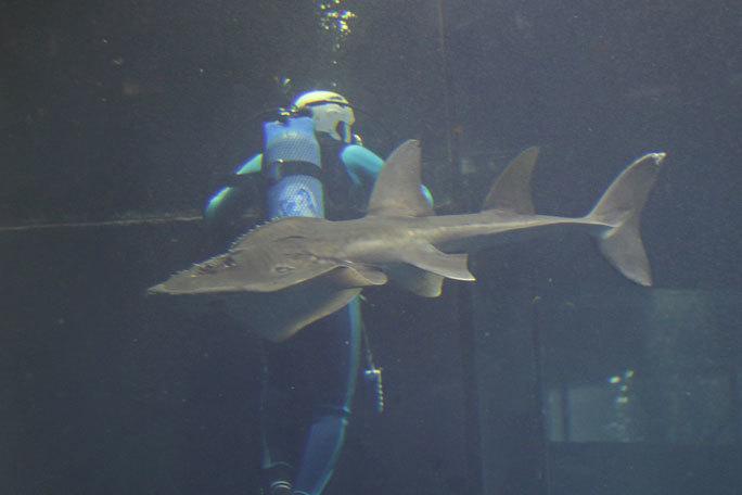 イタチザメとシノノメサカタザメ(葛西臨海水族園)_b0355317_21170792.jpg