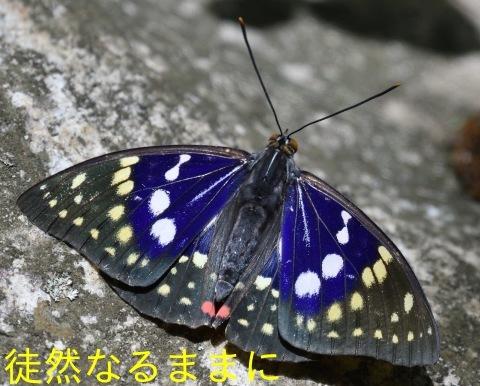 国蝶 オオムラサキ 栗山町地域変異_d0285540_12093243.jpg