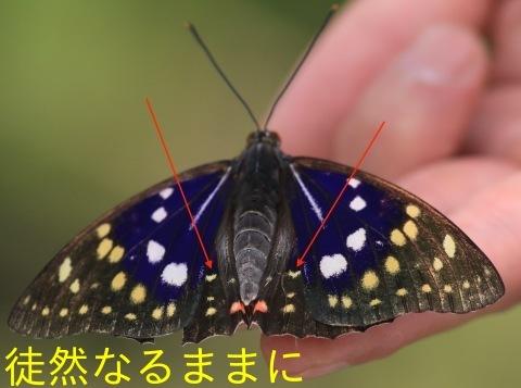 国蝶 オオムラサキ 栗山町地域変異_d0285540_12095430.jpg