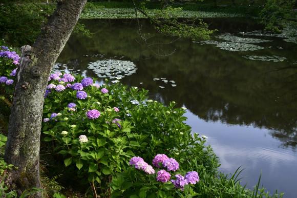 紫陽花(4)_c0093046_08084334.jpg