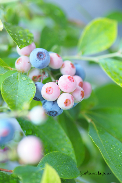 blueberry_e0268051_15085056.jpg