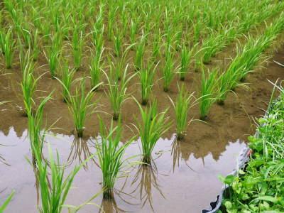 米作りの挑戦(2020) 田植えから1ヶ月が過ぎましたが、大雨で大ピンチです!_a0254656_17193487.jpg