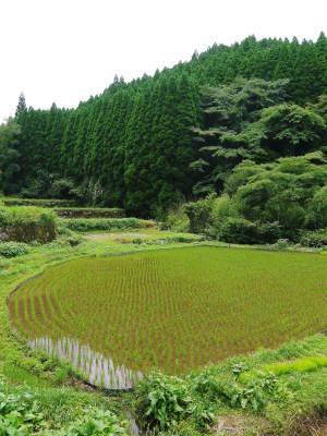 米作りの挑戦(2020) 田植えから1ヶ月が過ぎましたが、大雨で大ピンチです!_a0254656_17244034.jpg