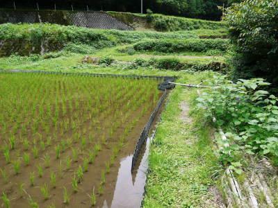 米作りの挑戦(2020) 田植えから1ヶ月が過ぎましたが、大雨で大ピンチです!_a0254656_17355301.jpg