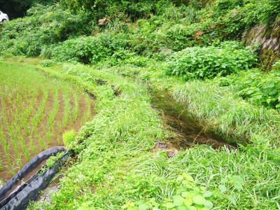 米作りの挑戦(2020) 田植えから1ヶ月が過ぎましたが、大雨で大ピンチです!_a0254656_17435124.jpg