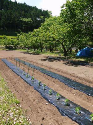 米作りの挑戦(2020) 田植えから1ヶ月が過ぎましたが、大雨で大ピンチです!_a0254656_18094907.jpg