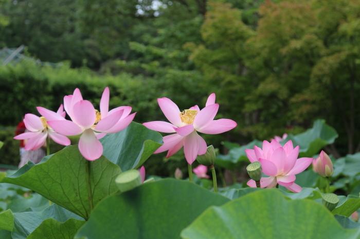 千葉公園の大賀ハス♪美しい姿にうっとり 1_d0152261_12205570.jpg