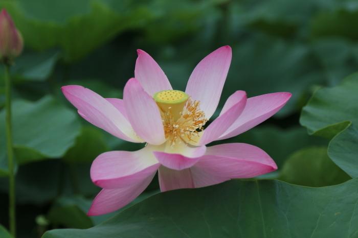 千葉公園の大賀ハス♪美しい姿にうっとり 1_d0152261_12213536.jpg