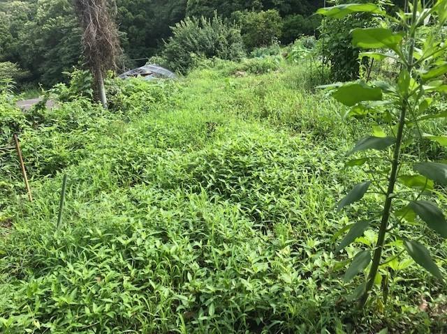 梅雨の晴れ間、汗だくで畑道の草刈り7・12_c0014967_06241222.jpg