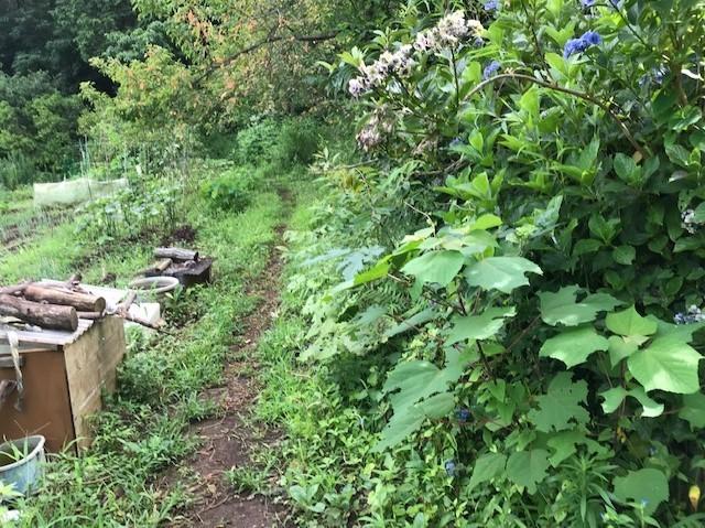 梅雨の晴れ間、汗だくで畑道の草刈り7・12_c0014967_06262471.jpg