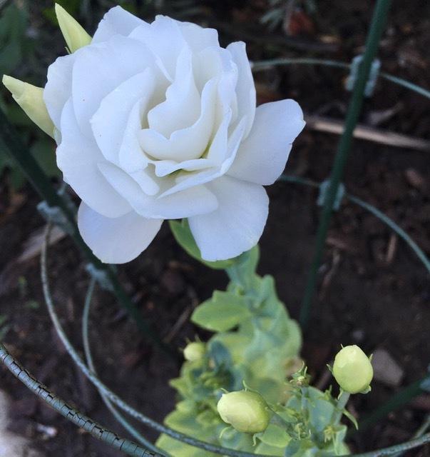 早朝の庭ートルコ桔梗、グラジオラス等々_e0350971_01141907.jpg