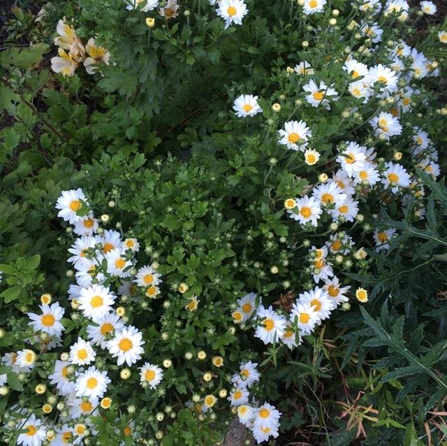 早朝の庭ートルコ桔梗、グラジオラス等々_e0350971_01143870.jpg