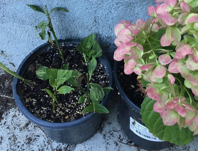早朝の庭ートルコ桔梗、グラジオラス等々_e0350971_01150011.jpg