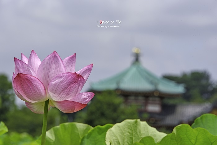 Lotus #1_f0326278_22583359.jpg