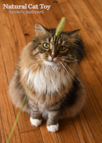 天然の猫じゃらしを進呈したら_b0253205_09371432.jpg