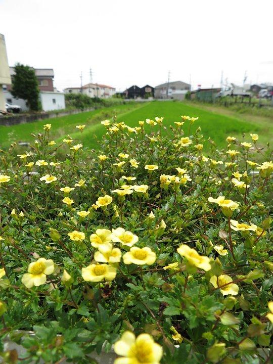 2020年7月28日 壁掛けプランターの花  !(^^)!_b0341140_18290117.jpg