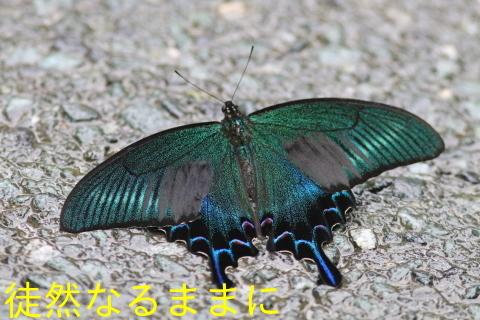 ミヤマシジミ・ ミヤマカラスアゲハ夏型♂_d0285540_13433375.jpg
