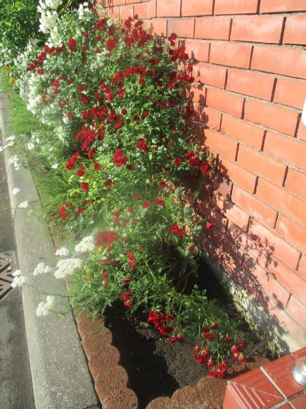 好きな小花のばら、アルバメディランドとレッドキャスケード_a0279743_13021781.jpg