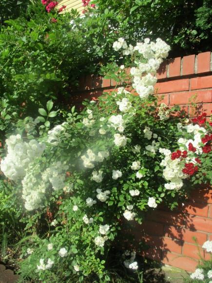 好きな小花のばら、アルバメディランドとレッドキャスケード_a0279743_13023350.jpg
