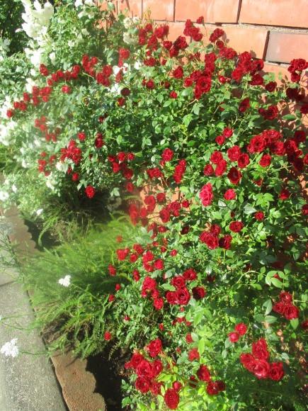 好きな小花のばら、アルバメディランドとレッドキャスケード_a0279743_13025003.jpg