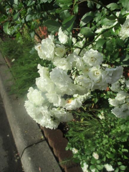 好きな小花のばら、アルバメディランドとレッドキャスケード_a0279743_13034619.jpg