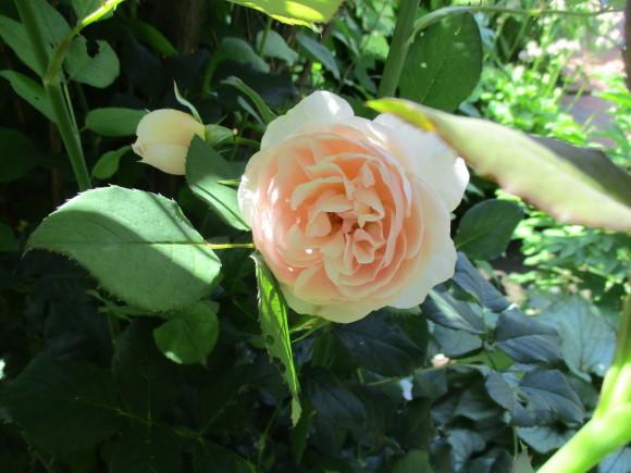 好きな小花のばら、アルバメディランドとレッドキャスケード_a0279743_13045695.jpg