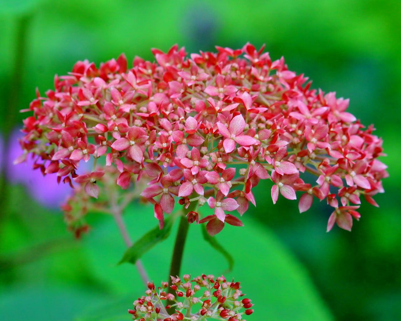 梅雨さ中 またまたレイクガーデンで花や虫_c0305565_17540627.jpg