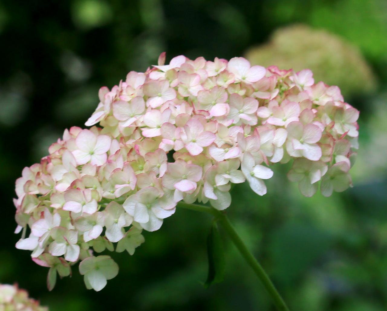 梅雨さ中 またまたレイクガーデンで花や虫_c0305565_17542301.jpg