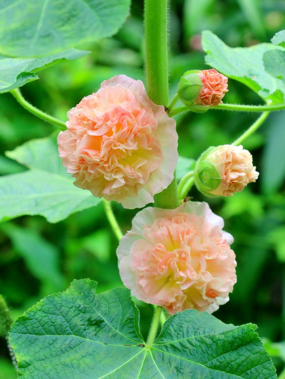 梅雨さ中 またまたレイクガーデンで花や虫_c0305565_18014021.jpg
