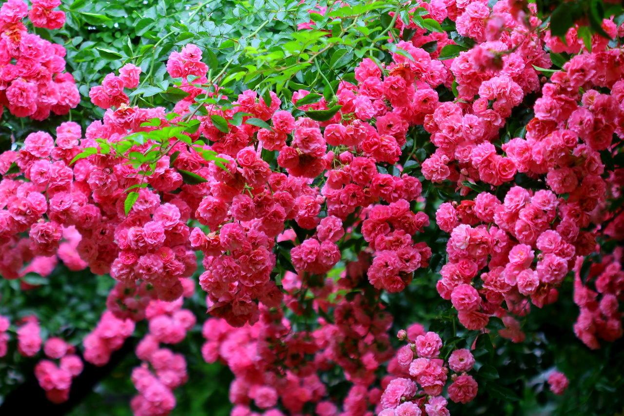 梅雨さ中 またまたレイクガーデンで花や虫_c0305565_18025542.jpg
