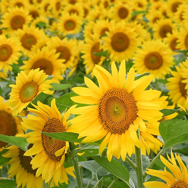 夏の花 03_f0099102_15225526.jpg