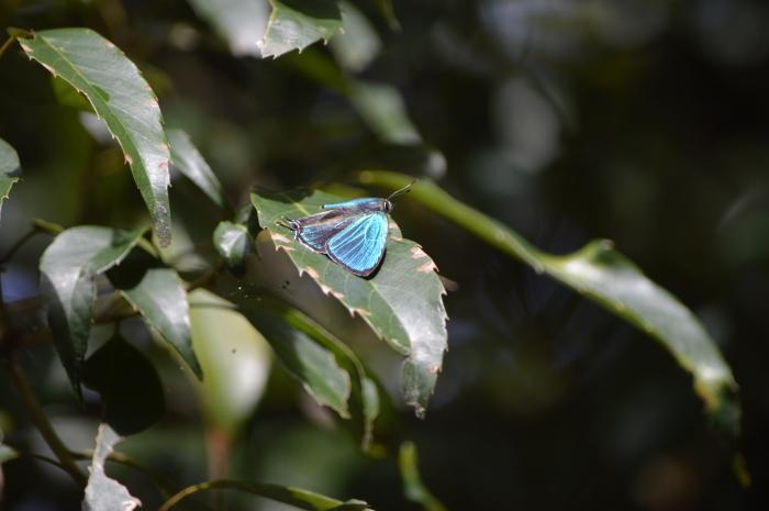 19キリシマミドリシジミ「蝶図鑑」_d0254540_18413782.jpg