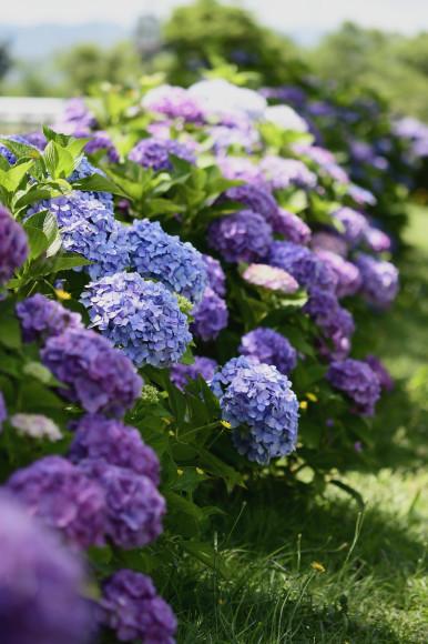 紫陽花(5)_c0093046_13313497.jpg
