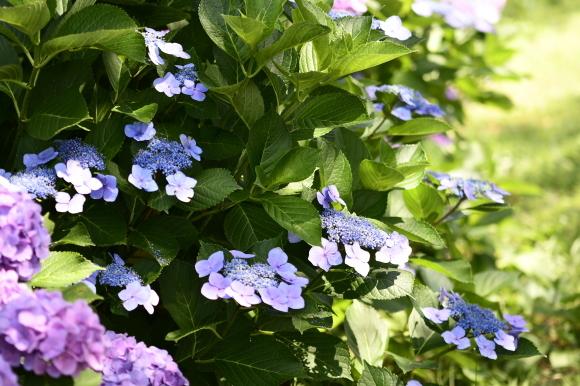 紫陽花(5)_c0093046_13324567.jpg