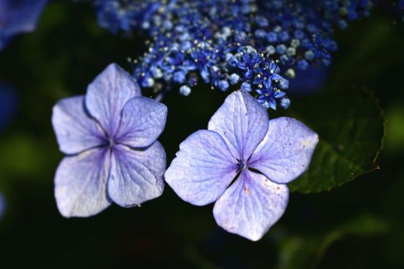 紫陽花(5)_c0093046_13325973.jpg