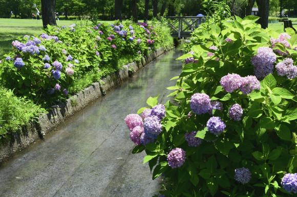 紫陽花(5)_c0093046_13334442.jpg