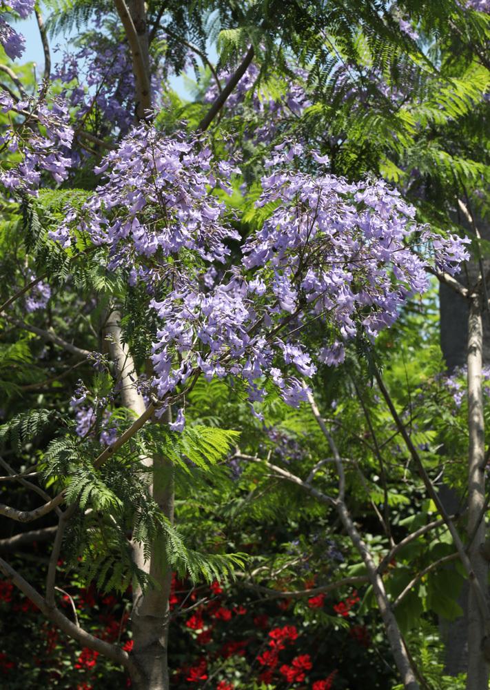 大阪 長居植物園 ジャカランダ_c0108146_22230414.jpg