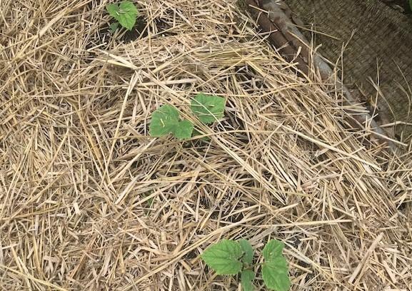 サツマイモのつる返しとひげ根切り7・15_c0014967_17001139.jpg