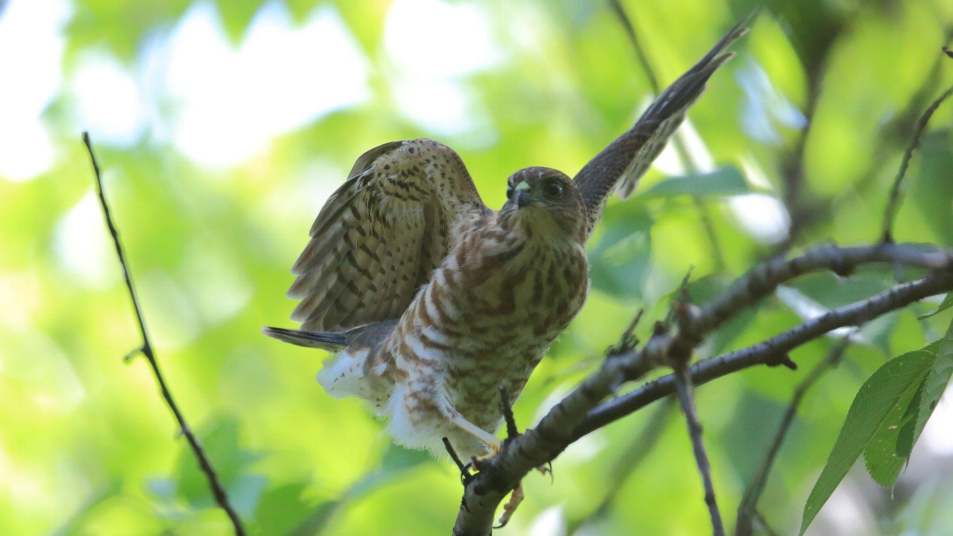 ツミ幼鳥近過ぎ!_f0105570_21215644.jpg