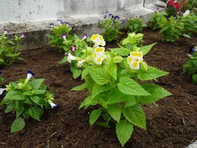名古屋港水族館前花壇の植栽R2.7.15_d0338682_15493246.jpg