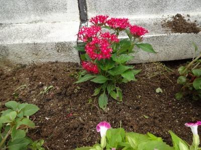 名古屋港水族館前花壇の植栽R2.7.15_d0338682_15501292.jpg