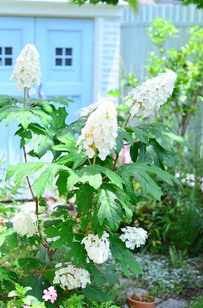 庭の紫陽花_d0025294_10281800.jpg