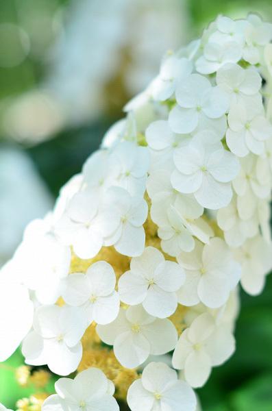 庭の紫陽花_d0025294_10283335.jpg