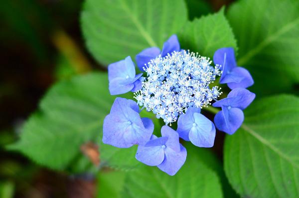 庭の紫陽花_d0025294_10285841.jpg