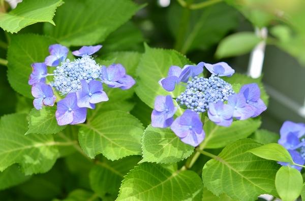 庭の紫陽花_d0025294_10291600.jpg