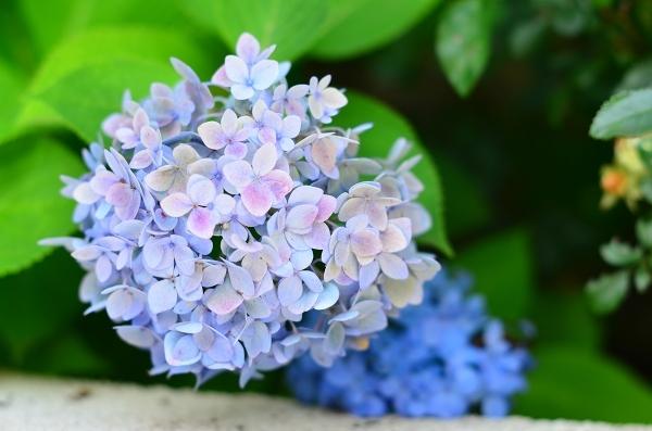 庭の紫陽花_d0025294_10293159.jpg